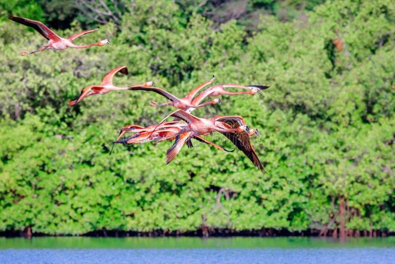 Flock av rosa flamingo för flyg över Guanaroca sjön, cear Cienfue royaltyfria foton