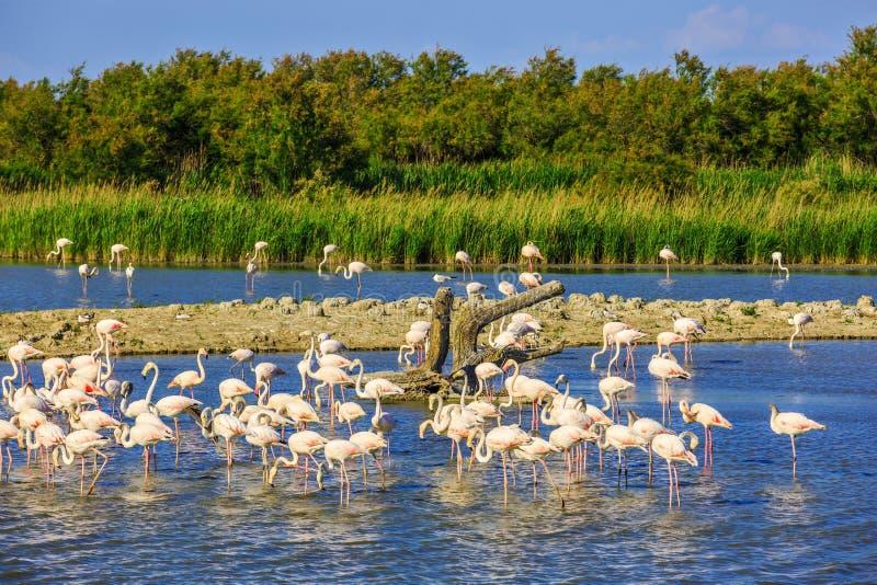 Flock av rosa flamingo i den Camargue nationalparken royaltyfri foto