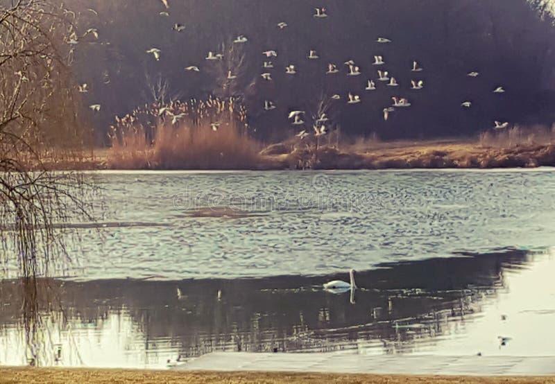 Flock av seagulls som flyger över sjön fotografering för bildbyråer
