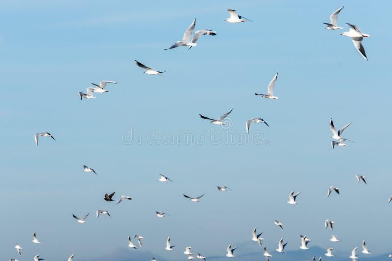 Flock av seagulls som flyger i en klar blå himmel Naturlig bakgrund arkivbilder