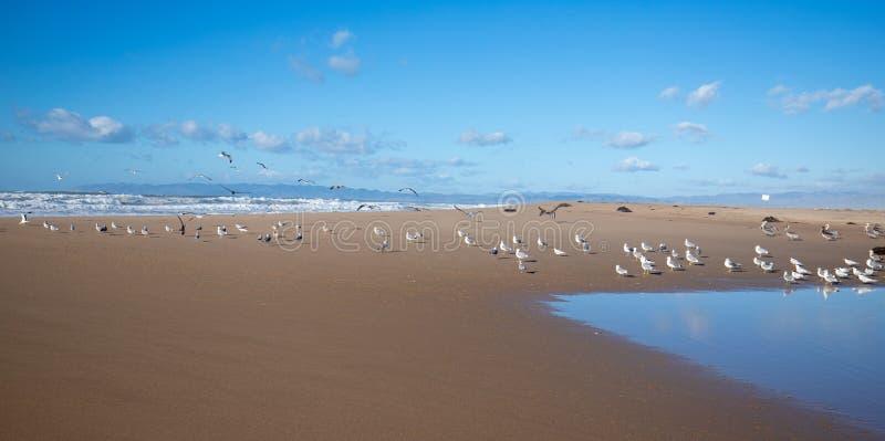 Flock av seagulls som flyger på halvön mellan Stilla havet och den Santa Maria floden på Ranchoen Guadalupe Sand Dunes Preserve arkivbild