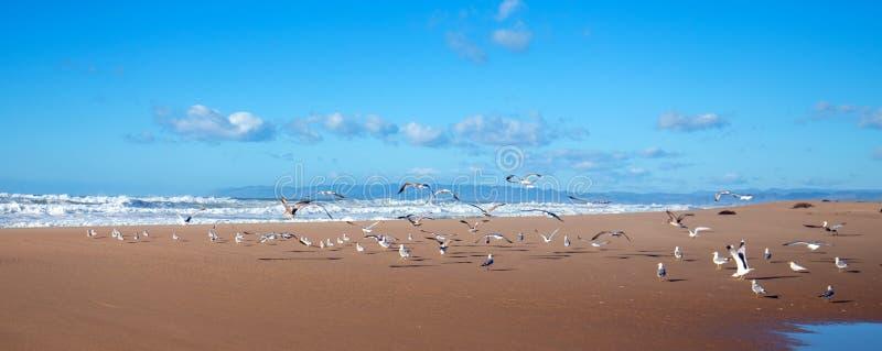 Flock av seagulls som flyger p? halv?n mellan Stilla havet och den Santa Maria floden p? Ranchoen Guadalupe Sand Dunes Preserve arkivbilder
