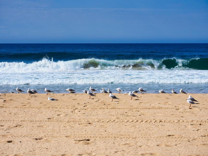Flock av Seagulls som står på den gula sandStilla havetstranden, Australien arkivbilder