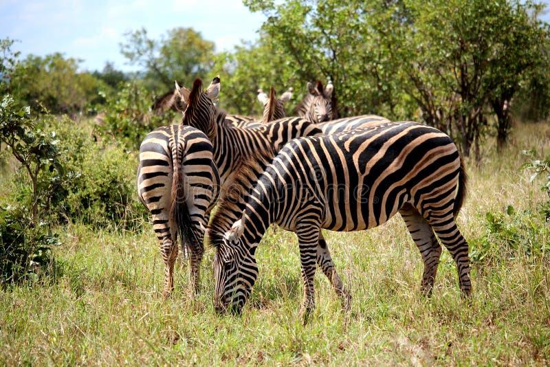 Flock av sebror i den Kruger nationalparken Höst i Sydafrika arkivfoton