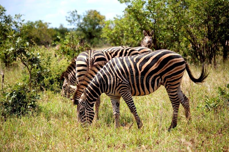 Flock av sebror i den Kruger nationalparken Höst i Sydafrika arkivfoto