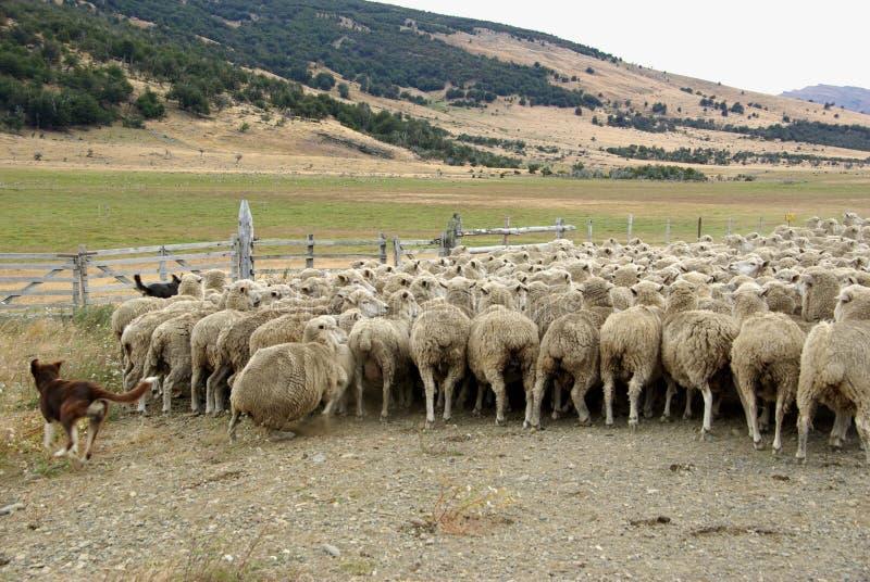 Flock av sheeps, Chile royaltyfri bild