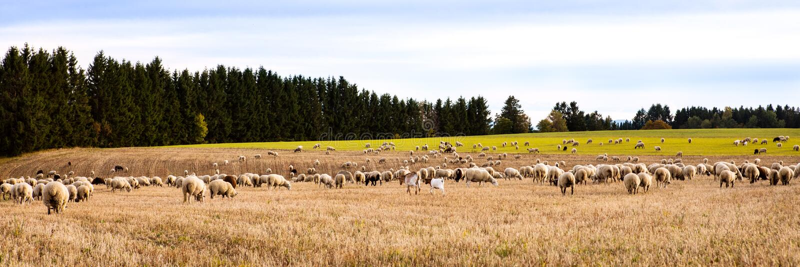 Flock av sheeps och getter på ett fält, panorama royaltyfria bilder