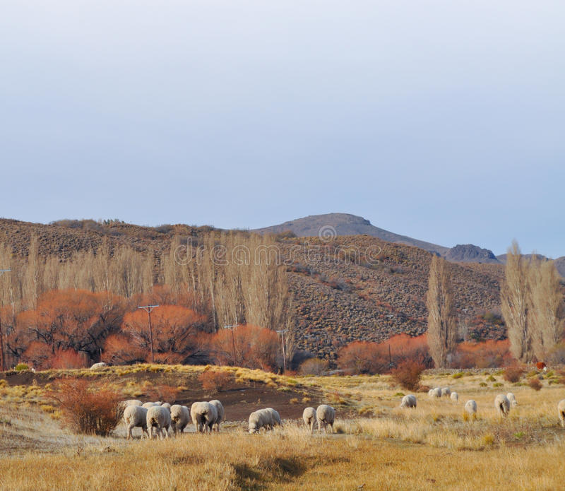 Flock av sheepsgrazin på det Patagonian landskapet arkivfoto