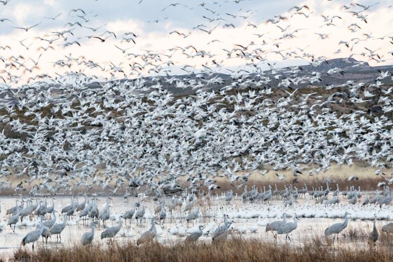 Flock av snögäss på en tryckvåg av royaltyfria bilder