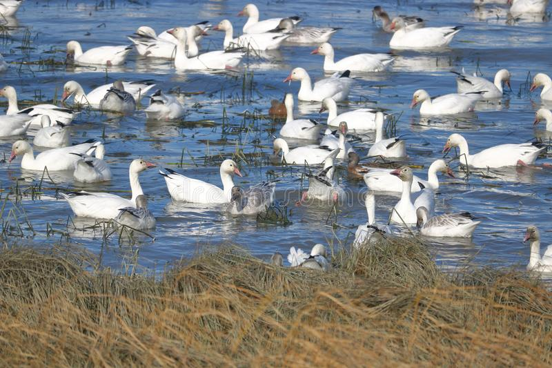Flock av Snowgäss royaltyfri bild