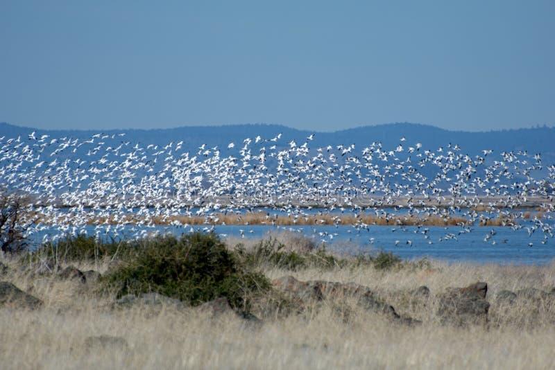 Flock av Snowgäss arkivfoto