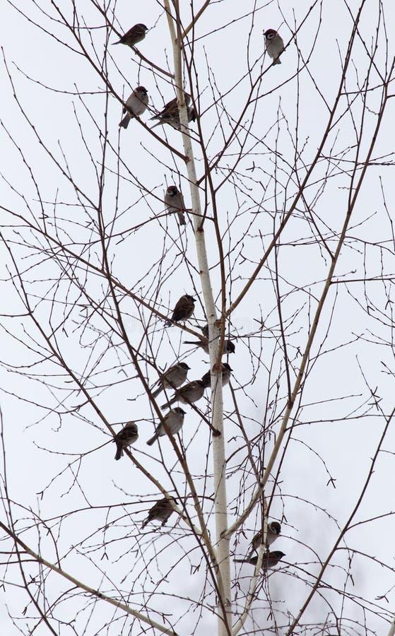 Flock av sparvar på de kala filialerna av ett träd royaltyfria bilder