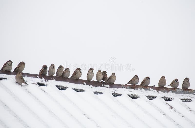 Flock av sparvar som sitter på taket arkivbild