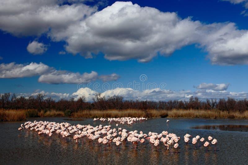 Flock av större flamingo, Phoenicopterus ruber, trevlig rosa stor fågel som dansar i vattnet, djur i naturlivsmiljön, med blått arkivbild