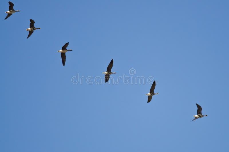 Flock av större Vit-beklädd gäss som flyger i en blå himmel arkivbild