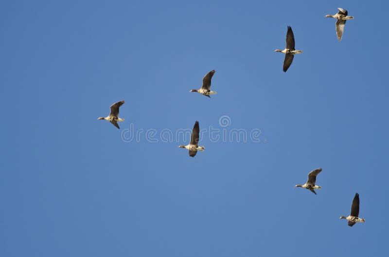Flock av större Vit-beklädd gäss som flyger i en blå himmel royaltyfri fotografi