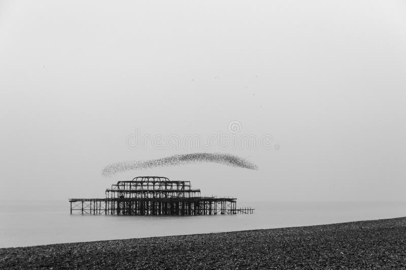 Flock av stare över den västra pir i Brighton royaltyfri fotografi