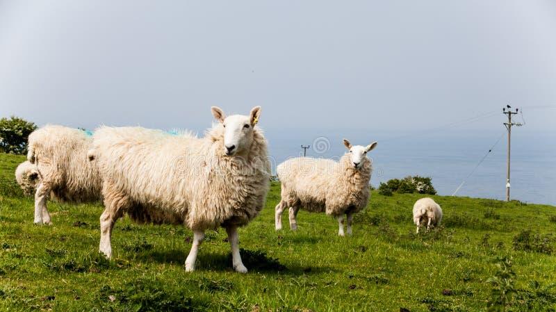 Flock av stirriga får Lantlig bygd med sheeps som äter på ängen Få sheeps som står på den soliga dagen med härlig bl royaltyfri bild