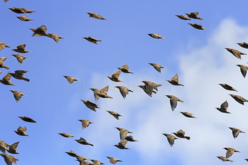 flock av svarta fågelstare som högt flyger i den blåa himlen royaltyfria bilder