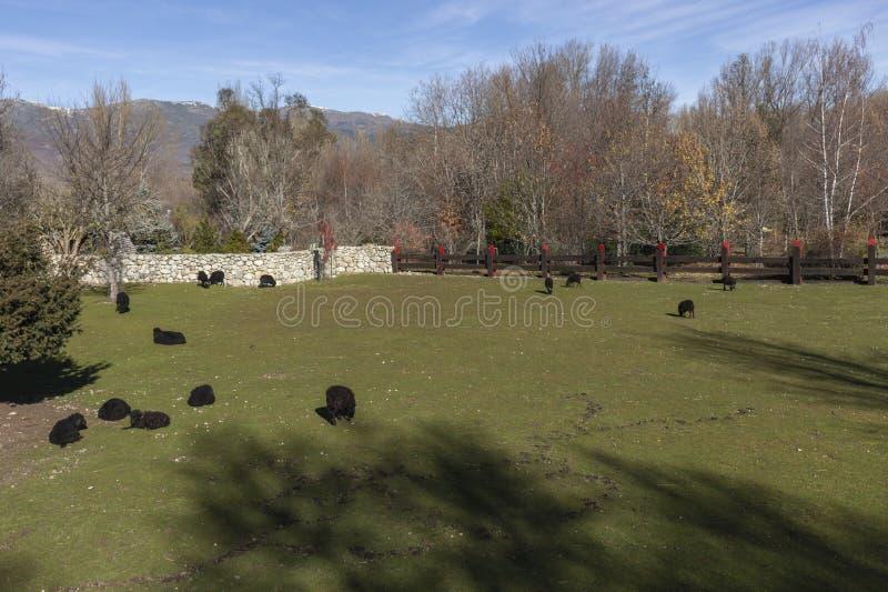 Flock av svarta får som betar i den Fuenfria dalen av Madrid royaltyfria foton