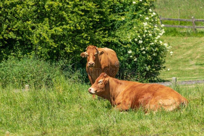 Flock av tjurar och kor som betas och vilas på grön äng royaltyfria bilder