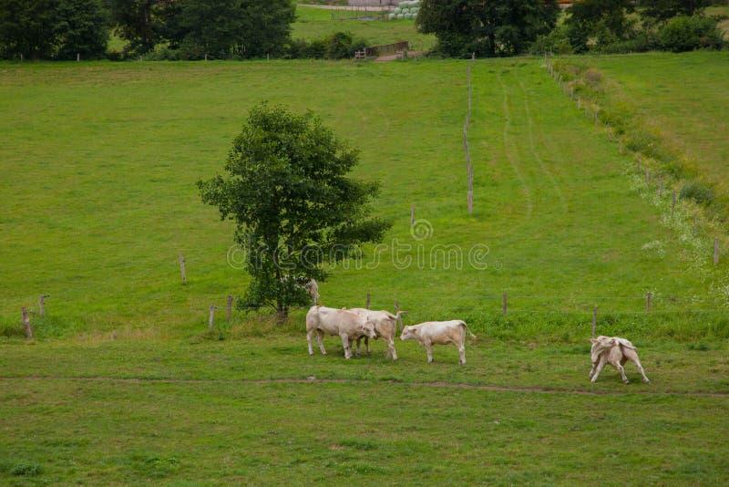 Flock av unga tjurar för att föda upp, i Normandie, Frankrike arkivfoto