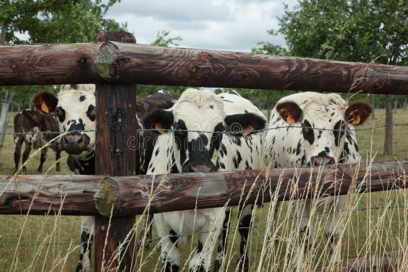 Flock av unga tjurar för att föda upp, i Normandie, Frankrike royaltyfri fotografi