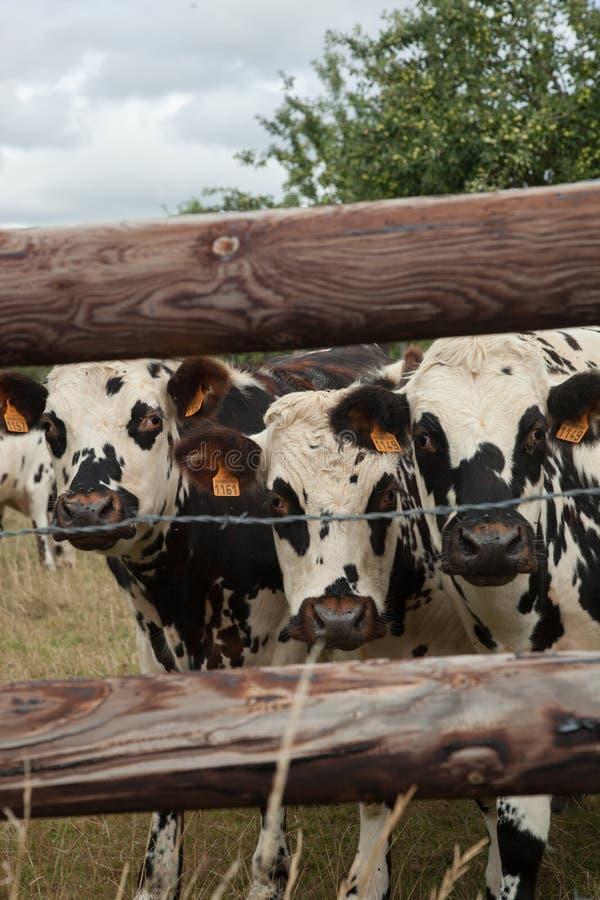 Flock av unga tjurar för att föda upp, i Normandie, Frankrike arkivbilder
