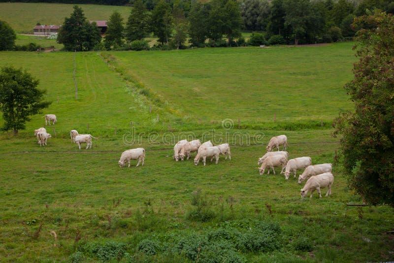 Flock av unga tjurar för att föda upp, i Normandie, Frankrike arkivbild