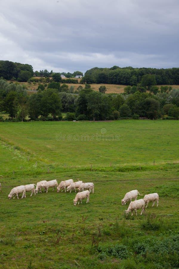 Flock av unga tjurar för att föda upp, i Normandie, Frankrike arkivfoton