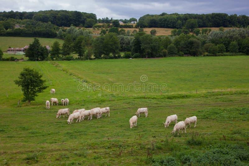 Flock av unga tjurar för att föda upp, i Normandie, Frankrike royaltyfri bild