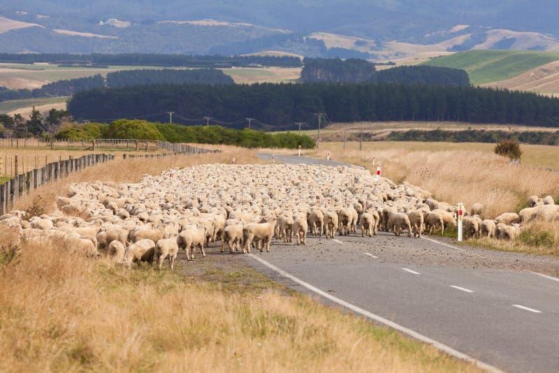 Flock av väg för ullfårkorsningen land fotografering för bildbyråer