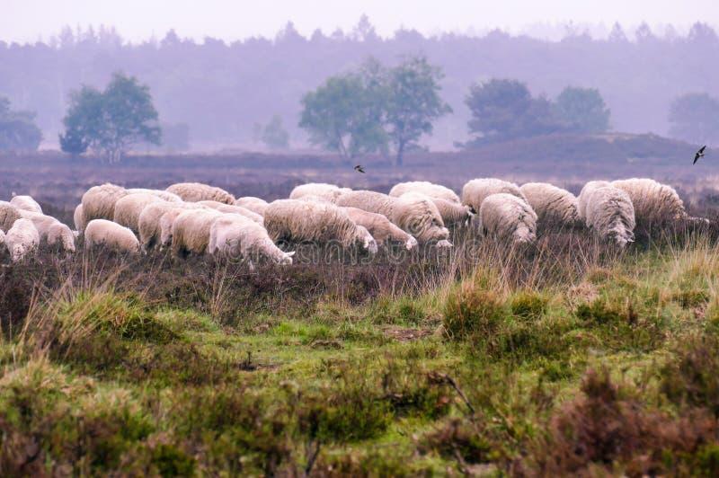 Flock av Veluwe Heath Sheep på den Ermelosche heiden royaltyfria bilder