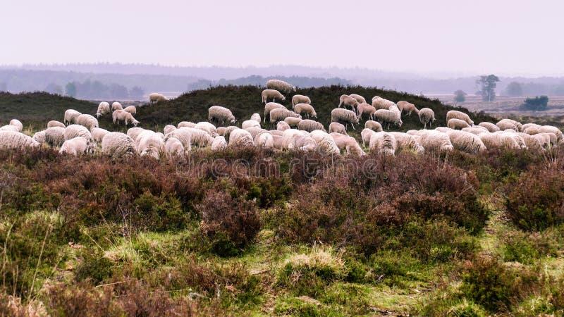 Flock av Veluwe Heath Sheep som betar på en kärra fotografering för bildbyråer