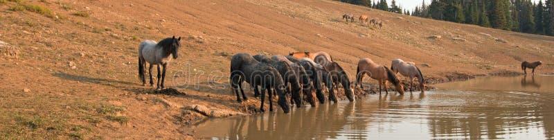 Flock av vildhästar som dricker på att bevattna hålet i området för Pryor bergvildhäst i staterna av Wyoming och Montana royaltyfria bilder