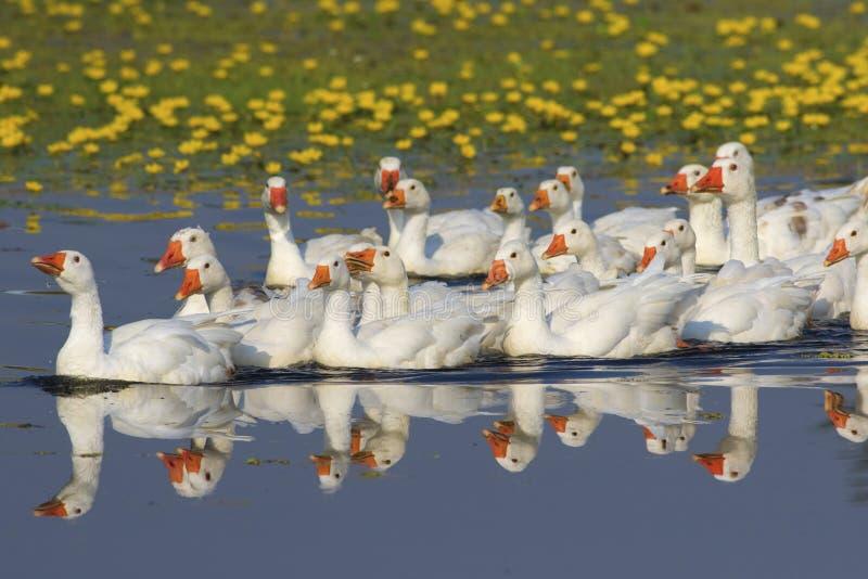 Flock av vit inhemsk gäss som simmar på dammet royaltyfria bilder