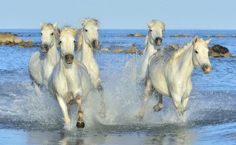 Flock av vita Camargue hästar som kör på vattnet royaltyfria foton