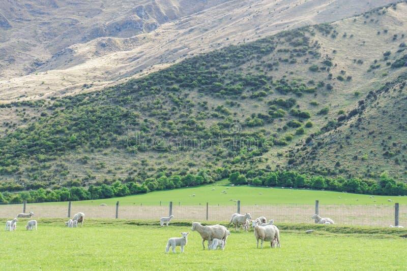 Flock av vita får på den gröna kullen i Nya Zeeland arkivfoton