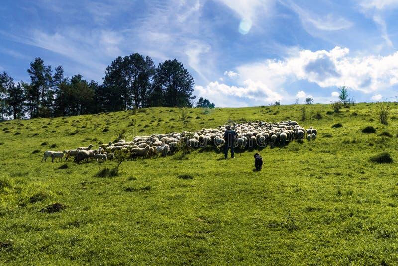 Flock av vita får som betar i en äng på en solig dag arkivbild