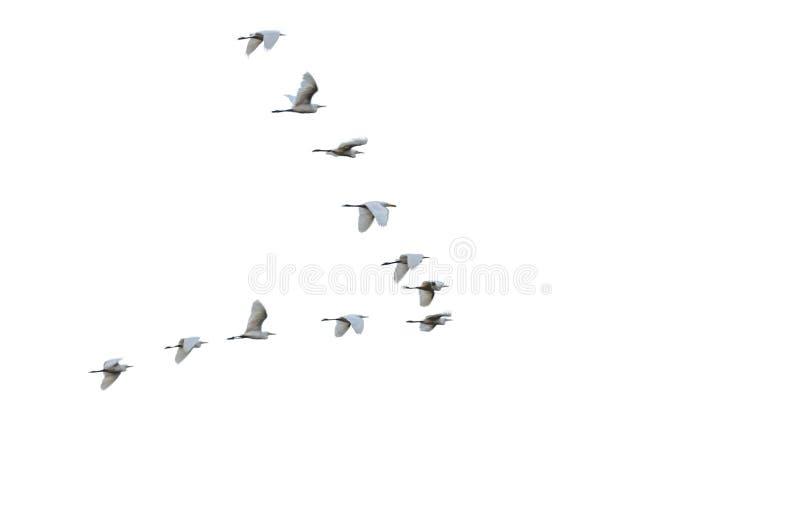 Flock av vita häger som flyger i V-bildande royaltyfri foto