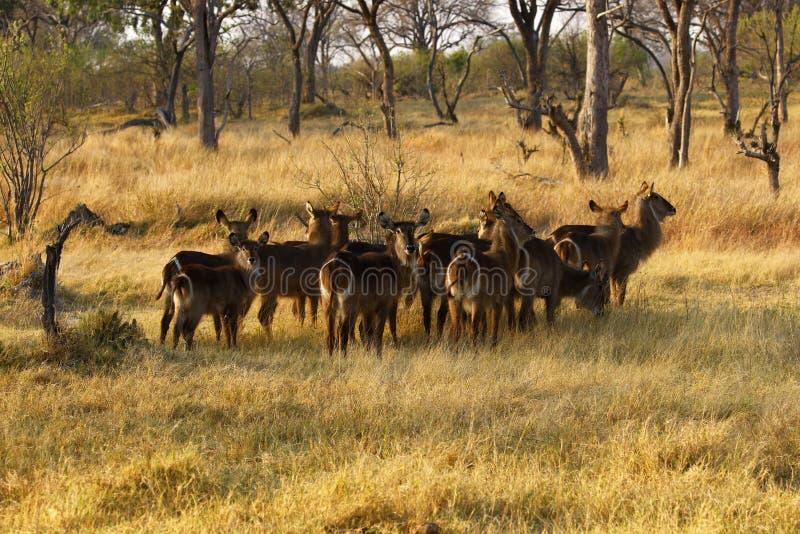 Flock av Waterbuck royaltyfria foton
