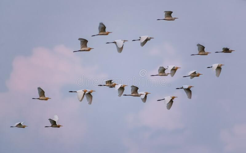 A flock of beautiful birds are flying high up in the sky. A large flock of beautiful birds are flying high up in the orange sky in sunset royalty free stock image