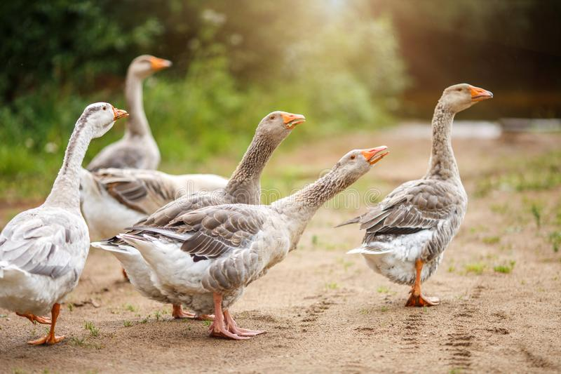A flock of beautiful domestic geese walking in a meadow near a farmhouse Rural landscape Sun flare royalty free stock photos