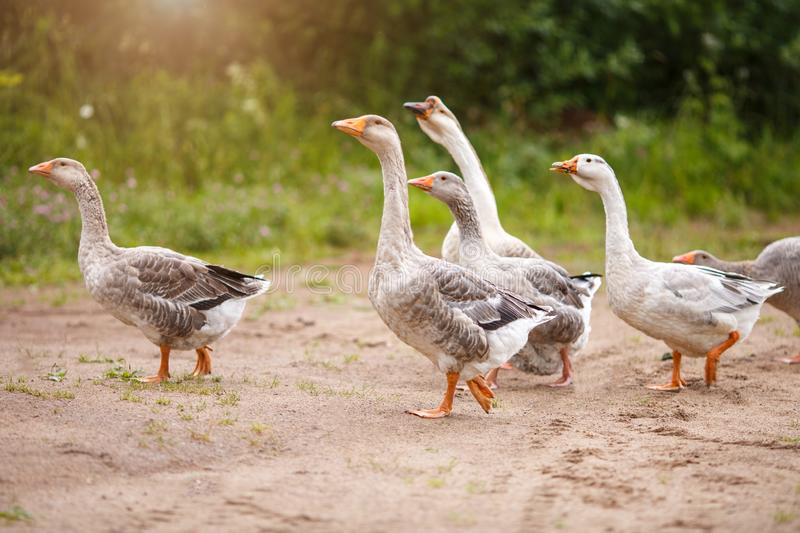 A flock of beautiful domestic geese walking in a meadow near a farmhouse Rural landscape Sun flare. A flock of beautiful domestic geese walking in a meadow near royalty free stock photo
