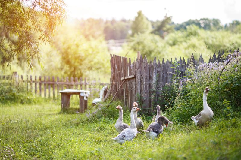 A flock of beautiful domestic geese walking in a meadow near a farmhouse Rural landscape Sun flare royalty free stock images