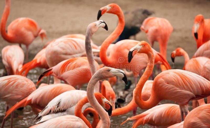 Flock of Beautiful Flamingos stock photos