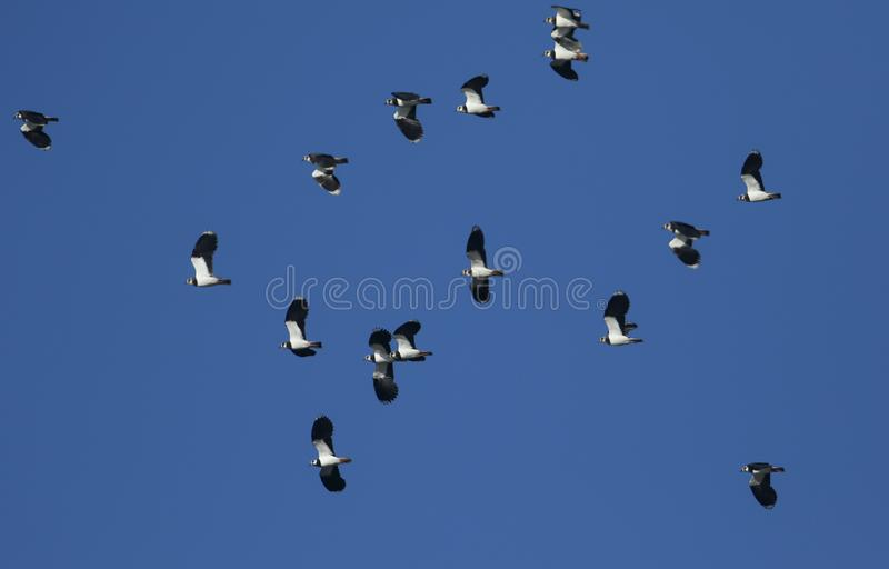 A flock of beautiful Lapwing,Vanellus vanellus, flying in the blue sky. royalty free stock photos