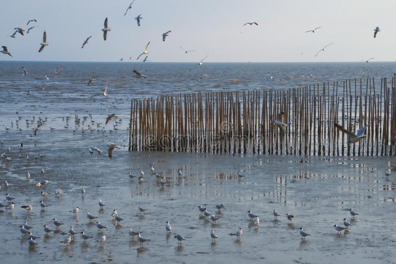 A flock of beautiful Thai seagulls, walking and flying around a bamboo sand fencing, in a river delta bank. stock image