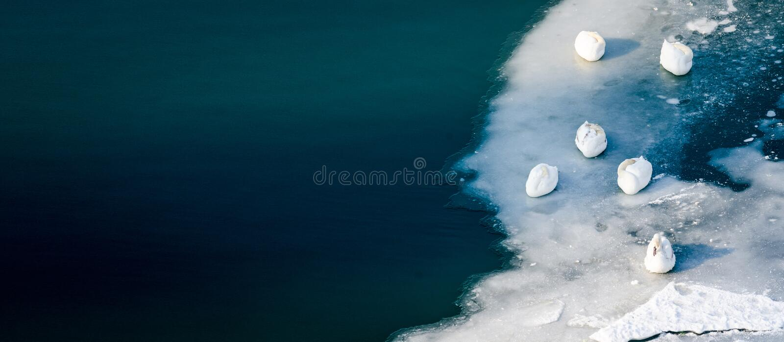 Flock of beautiful white mute swans sleeping on the ice of beautiful turquoise river or lake, free animals in nature concept. With copy space for text stock photos