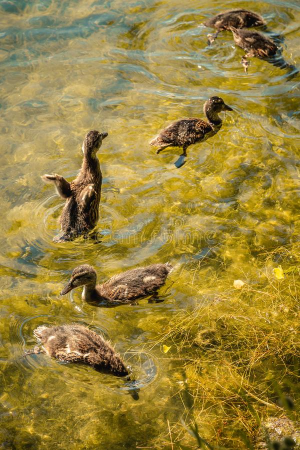 A flock of beautiful wild water ducklings with beaks and wings swim and dive in the pond. stock photography